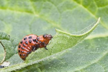 Larva del escarabajo de la patata comiendo hojas.