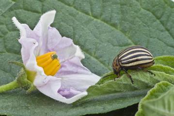 Escarabajo de la patata.