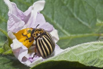 Escarabajo comiendo la flor de una mata de patatas.