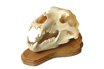 trophy skull of a bear isolated on white background