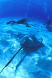 Scuba Divers On Ocean Floor With Sting Ray poster