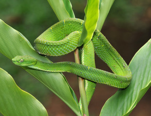 venomous green tree pit viper camouflaged on plant, costa rica