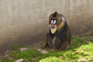 Mandrill (Mandrillus sphinx). Primate with the colorful face