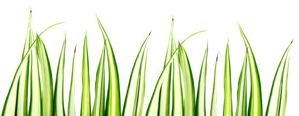 bordure de phalangère, plante araignée, fond blanc