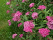 Spiraea little - Little Princess