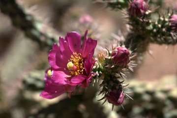 Single Staghorn Cholla Cactus Flower (Opuntia versicolor)