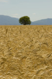 Field, golden fields with cereal plant. Provence. France.