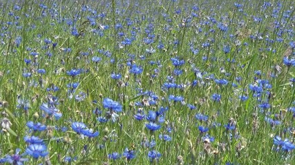 Kornblumen Feld im Sommer - Video - Cornflowers