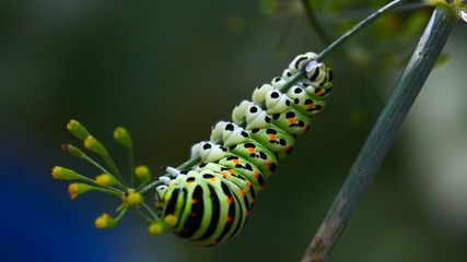 The caterpillar on a branch of fennel.