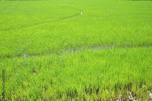 rice field background