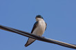 A Tree Swallow on wire close-up