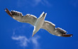 Sea gull against a bright blue sky