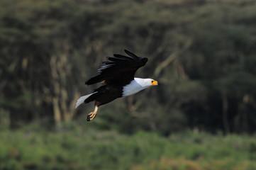 African Fish Eagle (Haliaeetus vocifer), lake Naivasha, Kenya