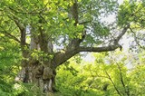 el anciano del bosque