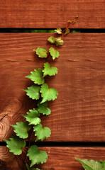 Ivy climbing wooden slats