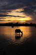 water buffalo - laos sunrise