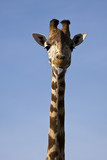 Giraffe - long neck and tongue poked out. poster