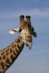 giraffe poking its tongue out.