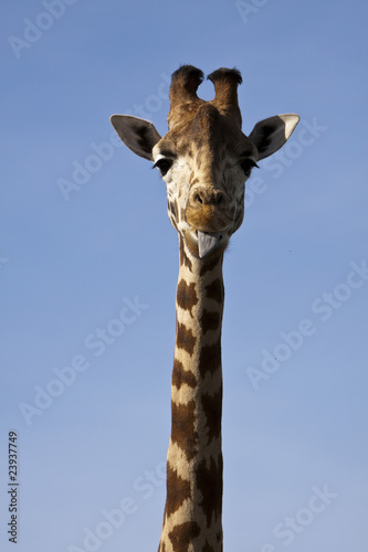Giraffe - long neck and tongue poked out.