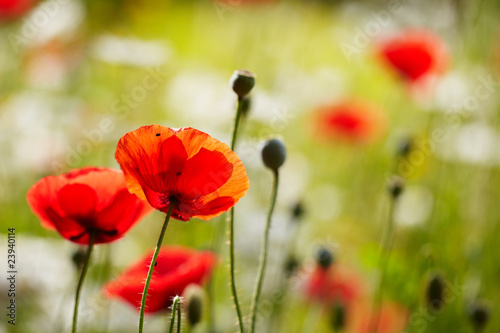 poppies in the garden 03 - 23940114