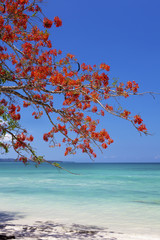 Red flower tree hanging over the blue sea.