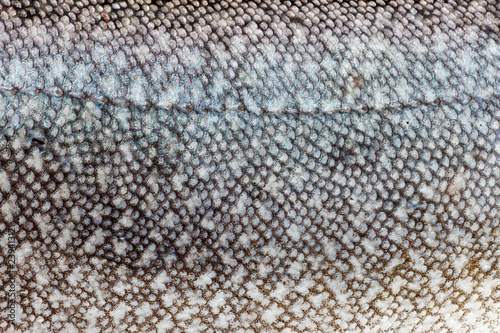 Lake Trout (Salvelinus namaycush) skin close-up