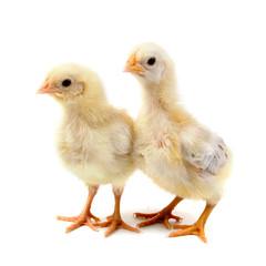Yellow chickens