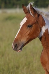 Portrait of pinted horse foal