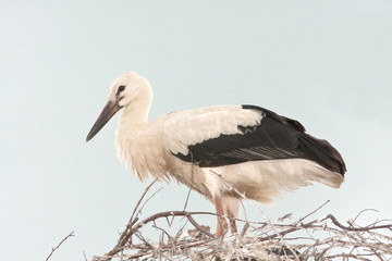white stork chick on the nest