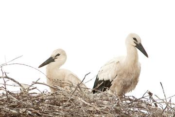 white stork chicks on the nest