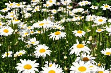marguerites in a green meadow