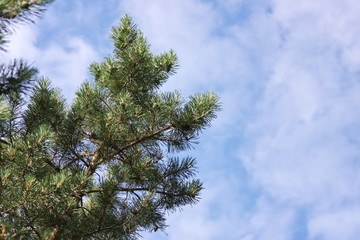 branch of pine-tree on a background dark blue sky