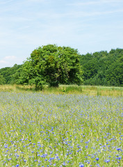 Kornblumenfeld & Naturlandschaft - Beautiful Nature