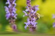 Biene auf Salbei