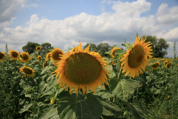 sunflowers on field