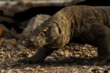Komodo Dragon Walks at Sunrise