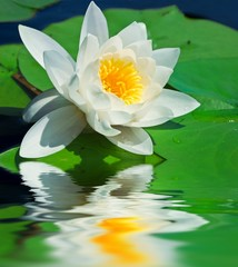 white lily in a water