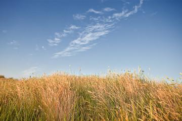 field of wild wheat