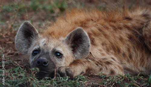 Papiers peints Hyène Big ears