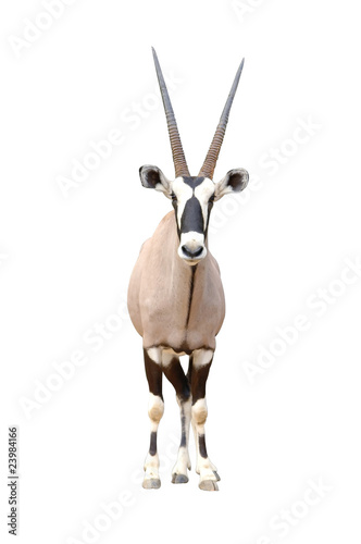 Fotobehang Antilope oryx