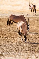 Three Gemsbok in the Kalahari desert