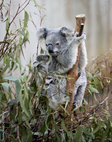 Aluminium Koala koala