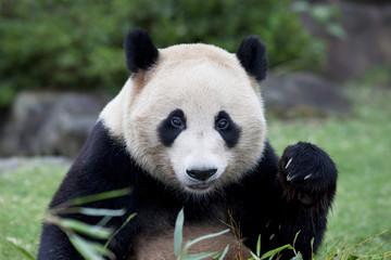 ジャイアントパンダのクローズアップ