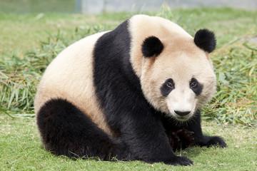 かわいいジャイアントパンダ