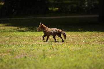 Red Fox Trotting Away