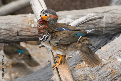 Teal (Anas sp.) sitting on the log