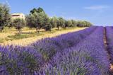 Fototapety entre oliviers et lavande