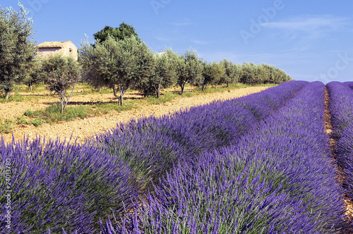 In de dag Lavendel entre oliviers et lavande