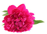 Pink peony, isolated on white