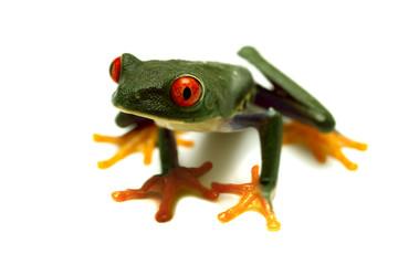 Tree frog 04